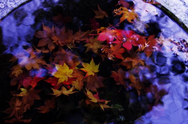 手水の中の紅葉