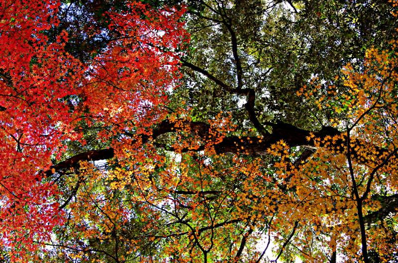 紅葉の天井