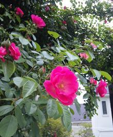 rose01.jpg