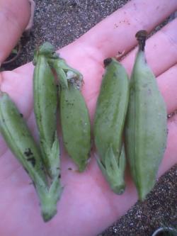 6-20収穫