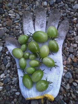 12-15プチトマト