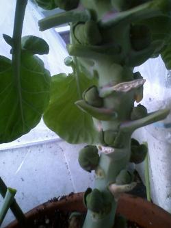 1-14芽キャベツ