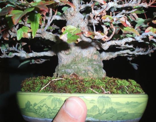 盆栽.楓1