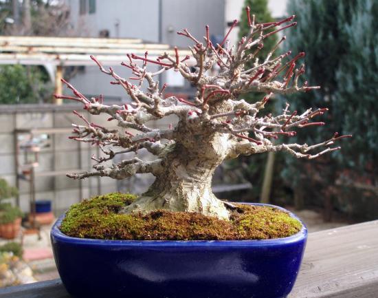 盆栽.ヤマモミジ1
