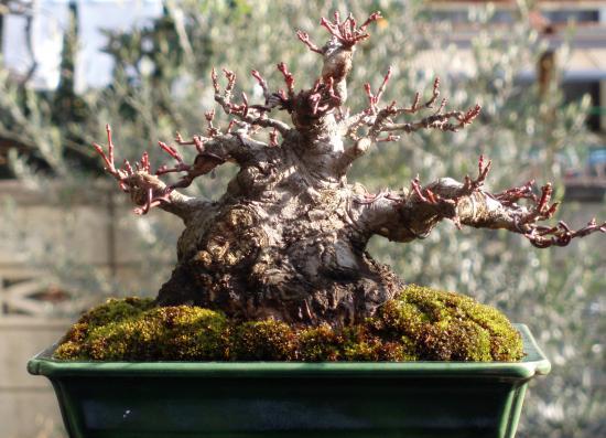 盆栽.ヤマモミジ2