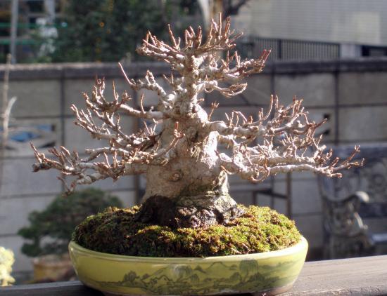 盆栽.楓2