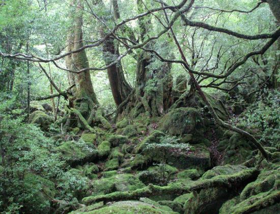 屋久島.もののけの森1