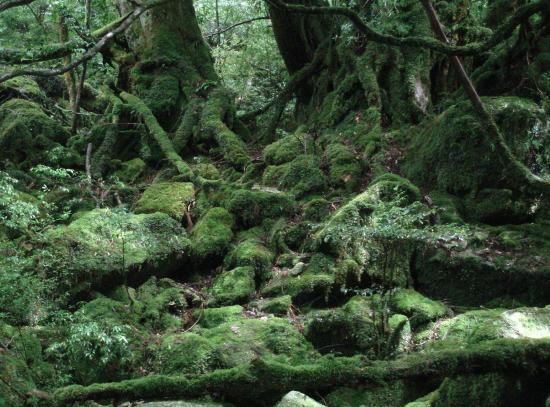 屋久島.もののけの森2