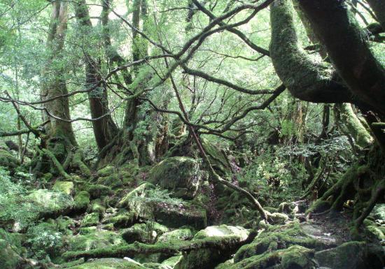 屋久島.もののけの森3
