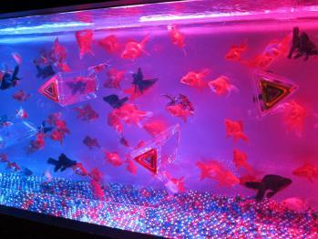 金魚0159