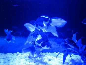 金魚0149