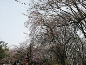 2010年4月18日 小諸懐古園の桜