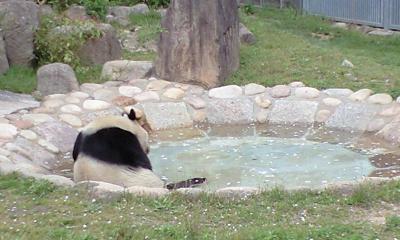 パンダ・・・水に浸かって…