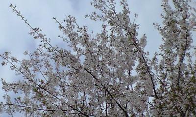 パンダ舎出たらもう桜♪