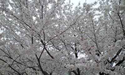 歩きながらも桜さくら。