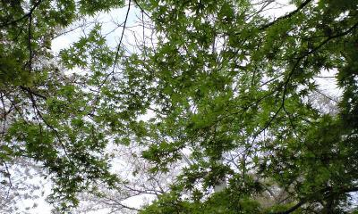 時々楓も緑々しく。。。