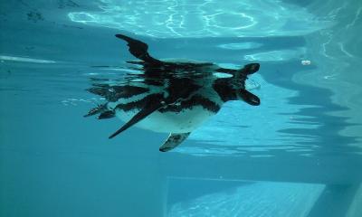 泳ぐペンギンでした(^_^;)