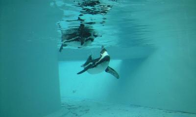 ペンギン♪ペンギン♪ペンギンも好き♪