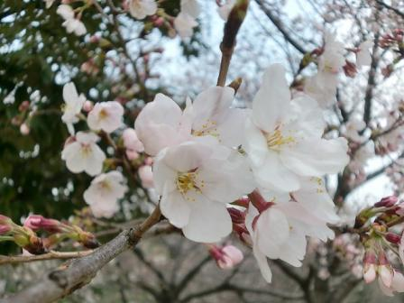 桜2011a
