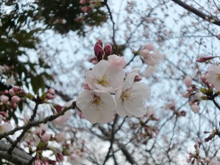 桜2011c
