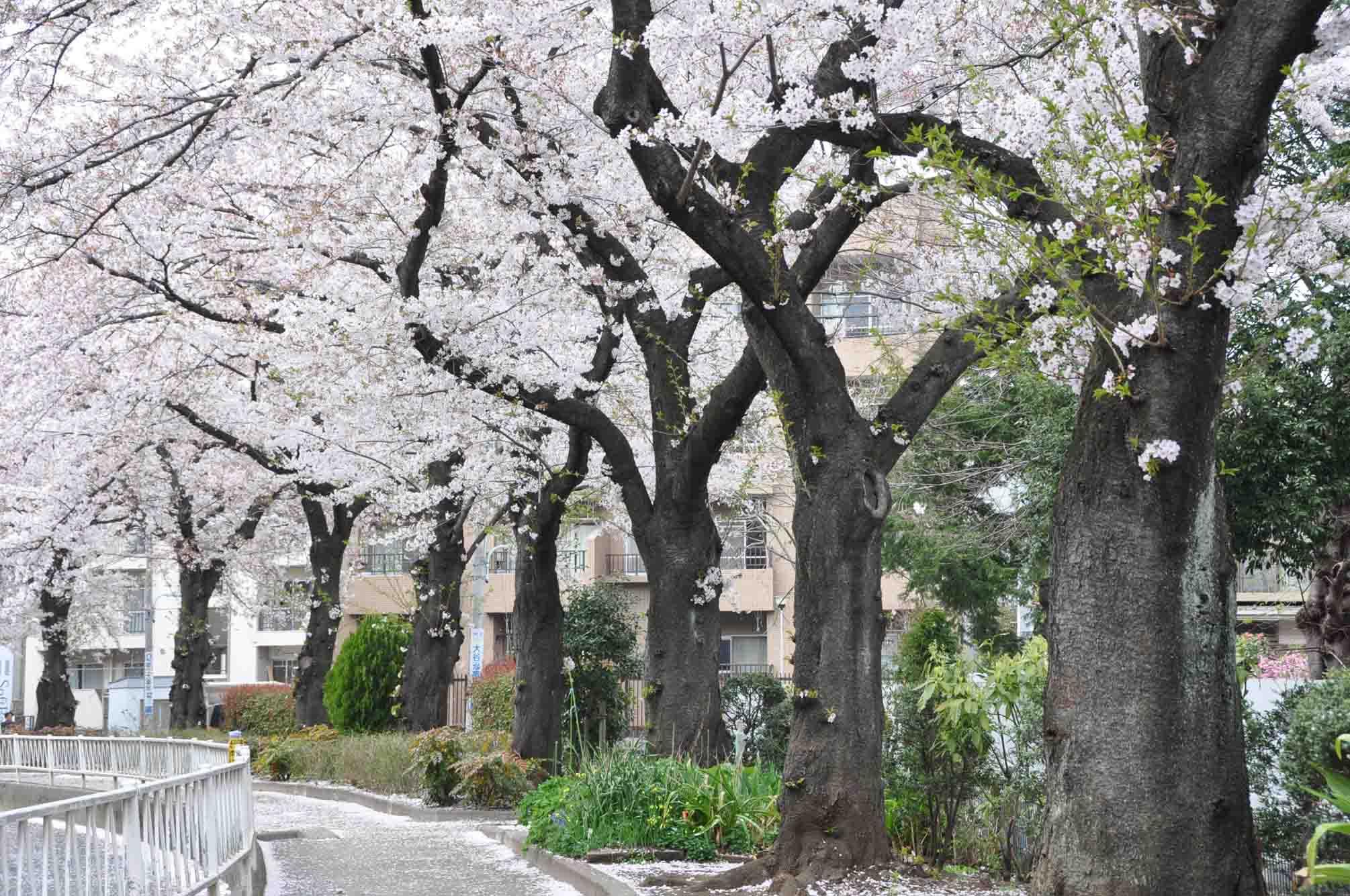 呑川「桜7