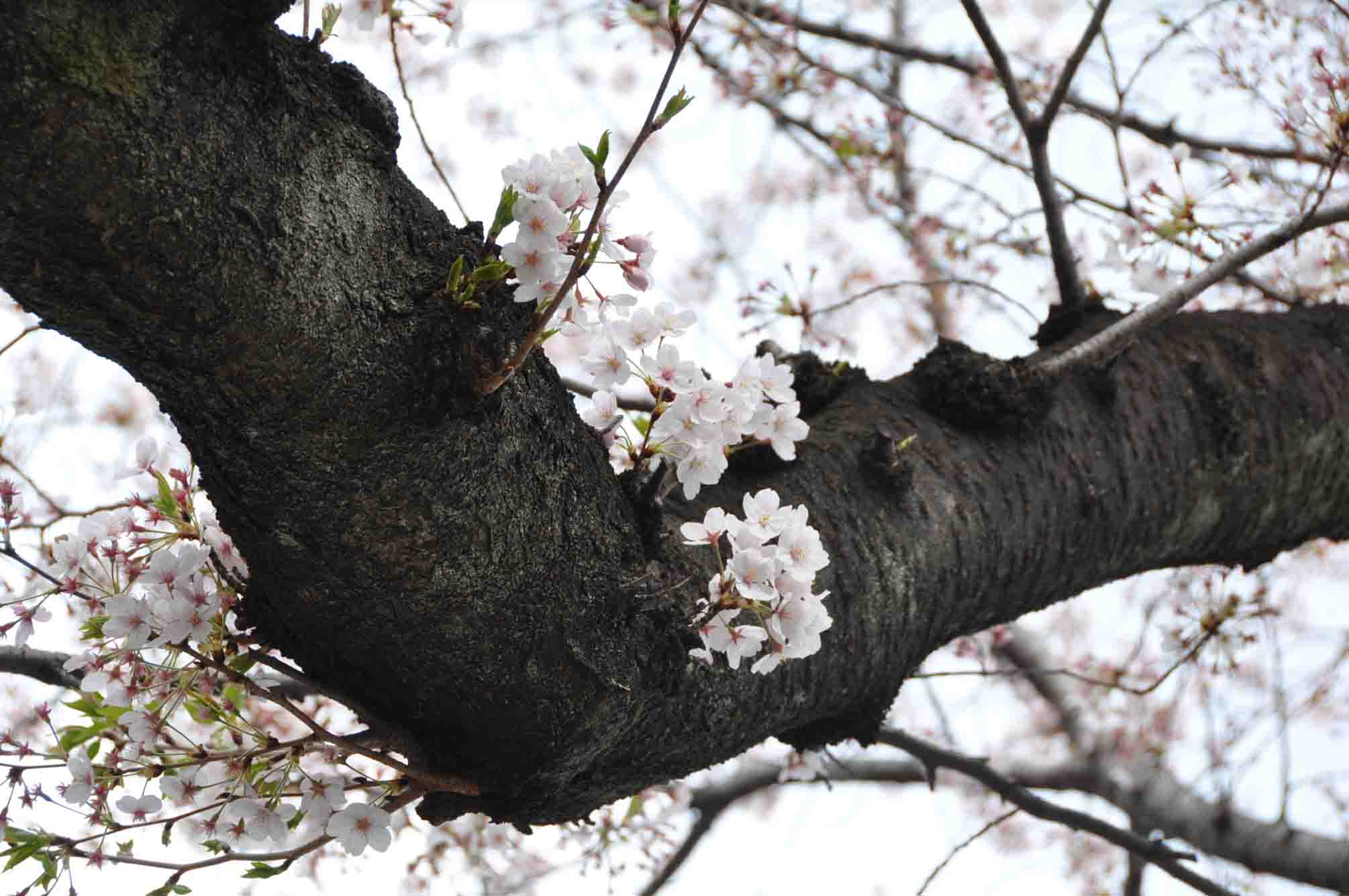 呑川桜11