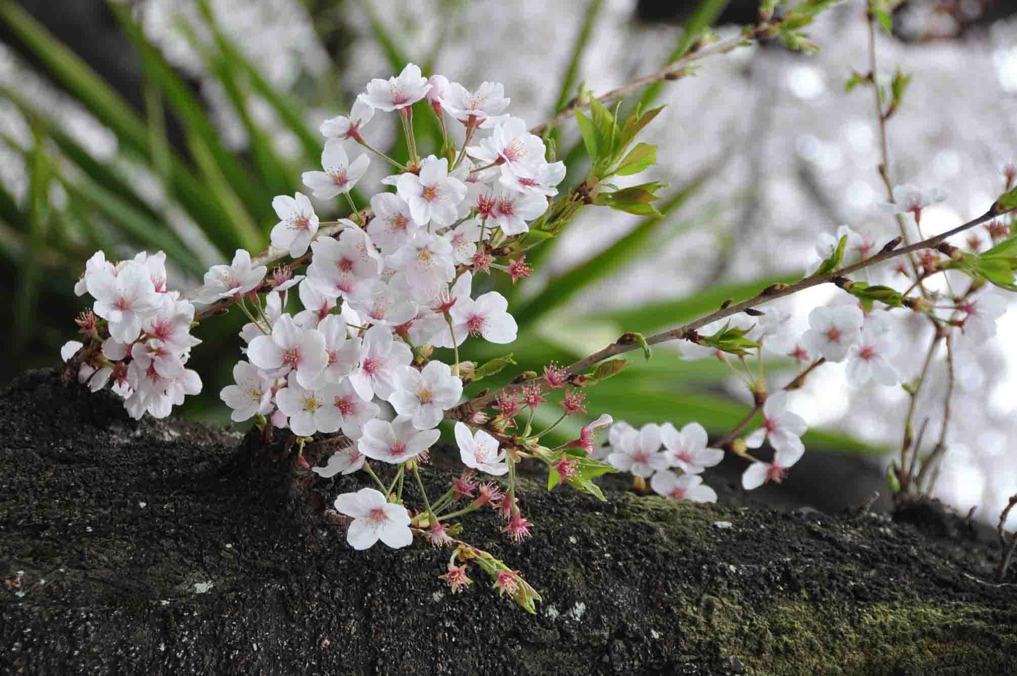 呑川桜12