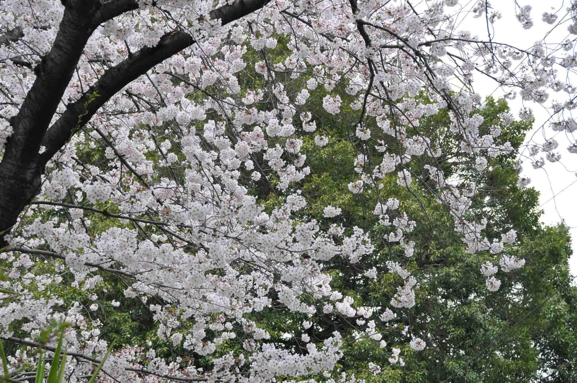 呑川桜15