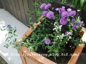 お盆花植え替え2