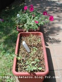 お盆花植え替え3