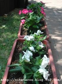 お盆花植え替え4