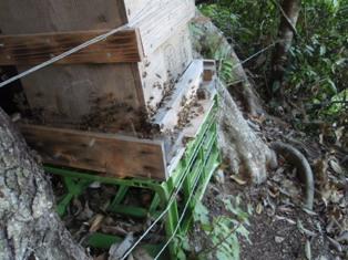 分蜂群が巣箱に入る