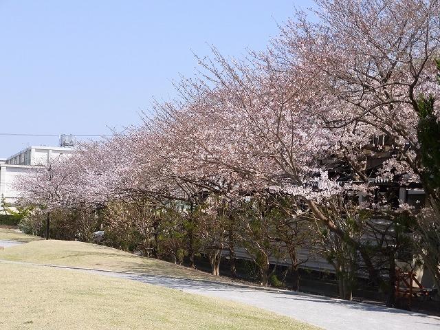 110405-sakura-03.jpg