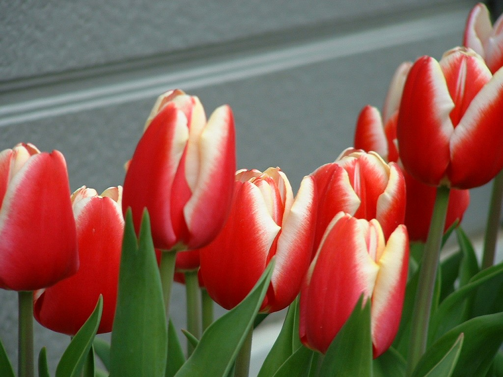 070110-Tulip.jpg