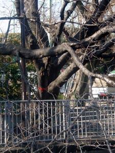 カラスの巣の木