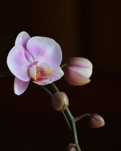 pinkkotyo1.jpg
