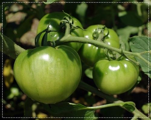 tomato1306.jpg
