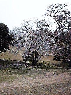 加賀芙蓉桜