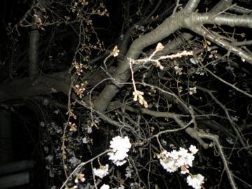 桜20110322