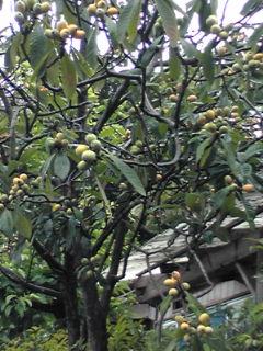 ビワの木110602