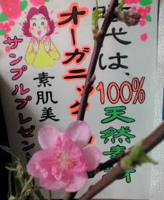 桃開花120228