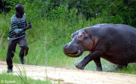 funny_hippo_attacking[1]