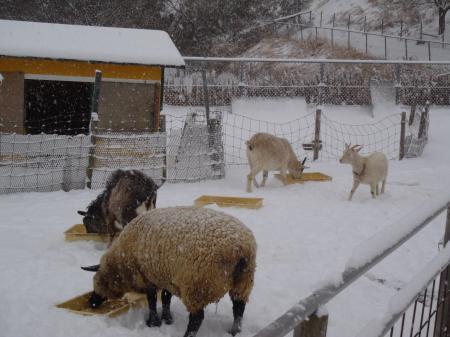 ヤギ牧場も雪景色