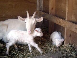 子ヤギが生まれました