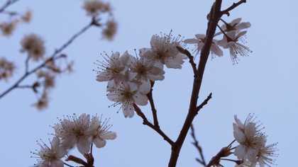明礬 5 梅の花
