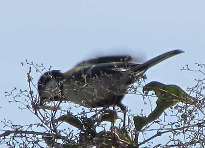 鳥 3 シジュウカラ