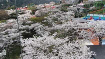 園内 3 桜