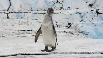 ペンギン 2