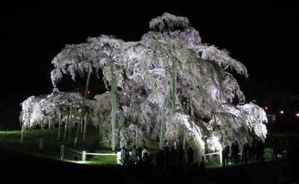 滝桜001