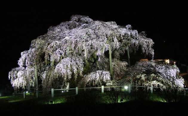 滝桜後ろ 2